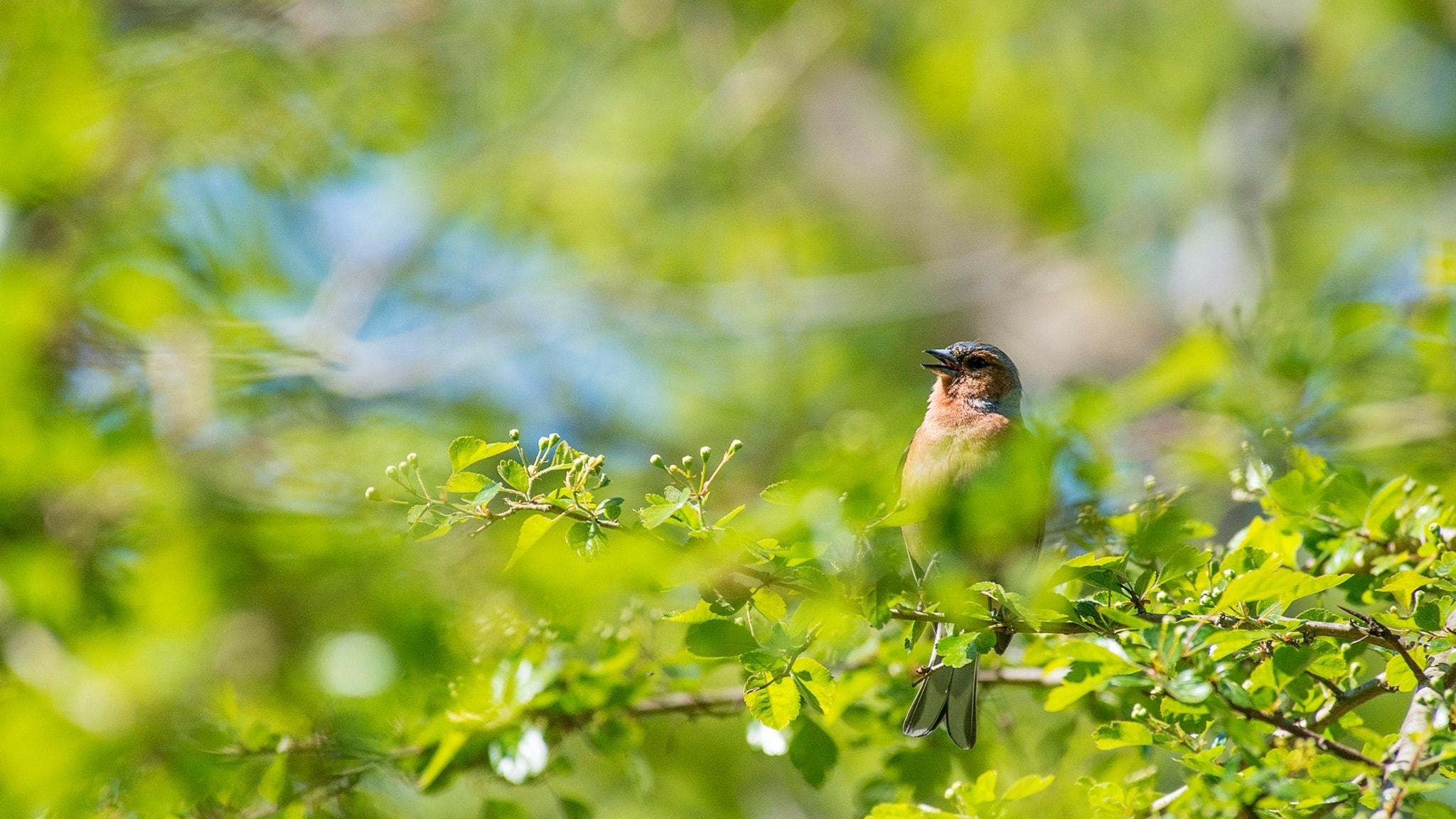 Fågelsånglektion #1: Bofink, lövsångare och rödhake