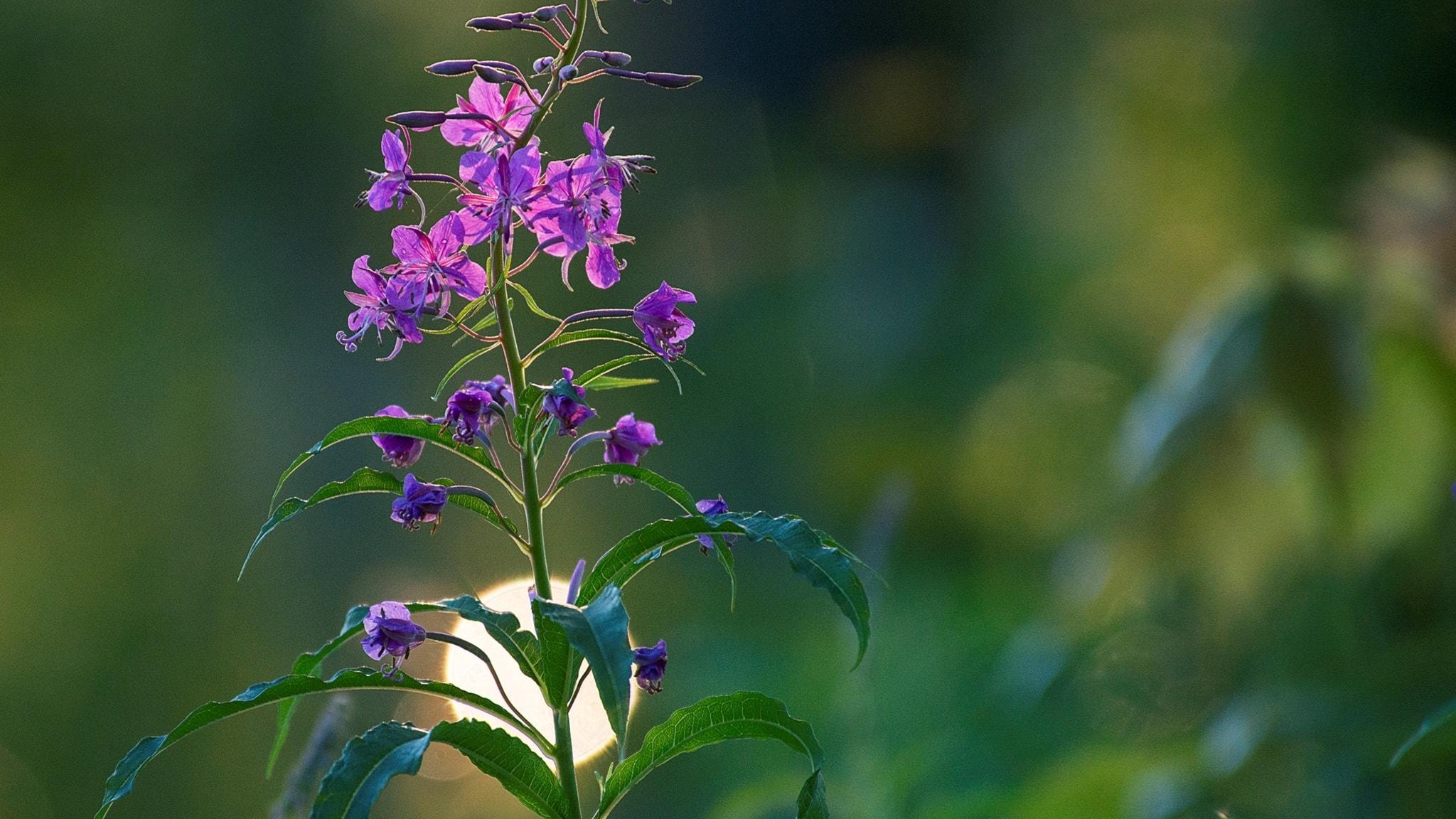 Berits blommor #9: Rallarros
