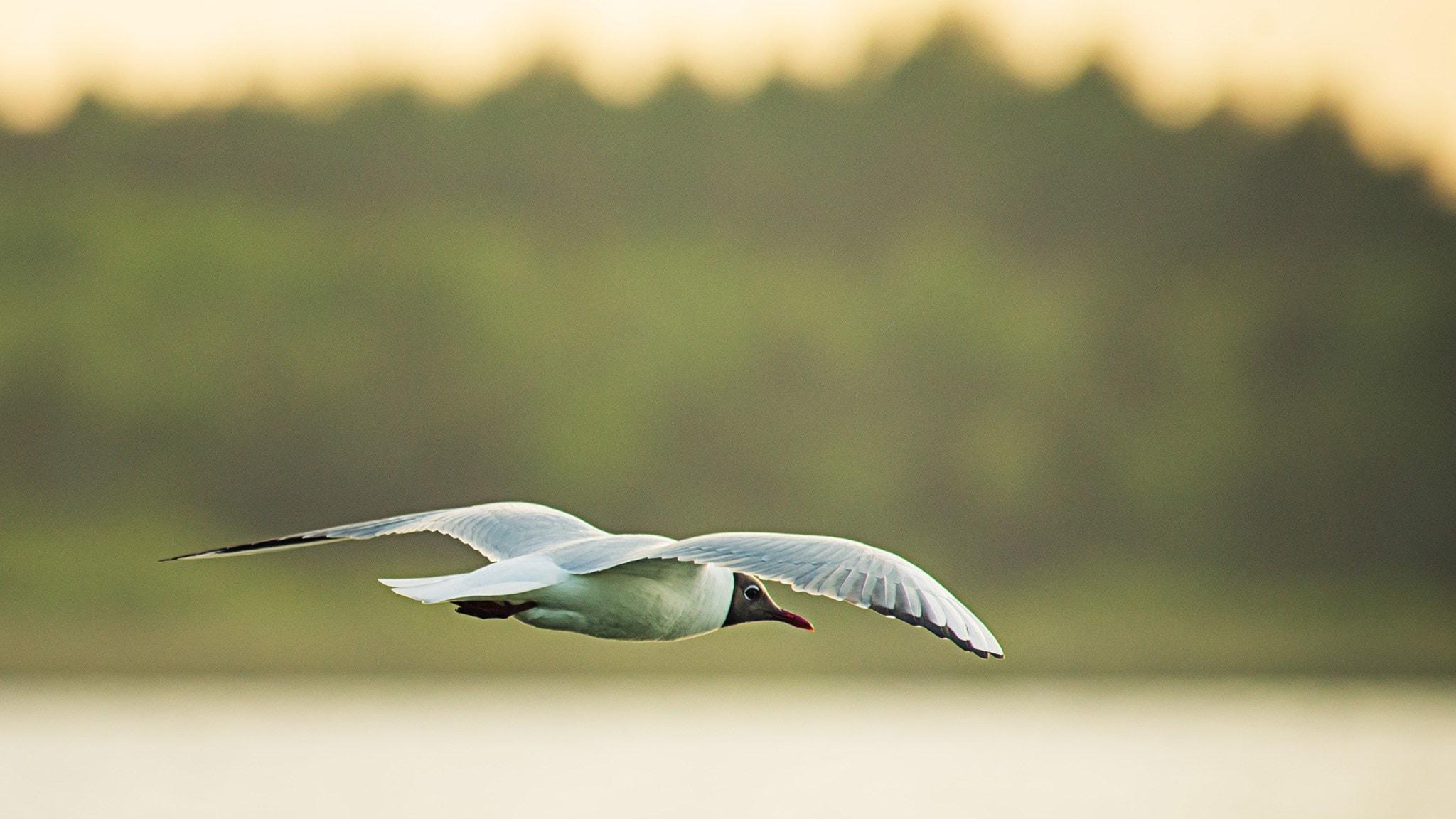 Fågelmorgon vid skånska Krankesjön