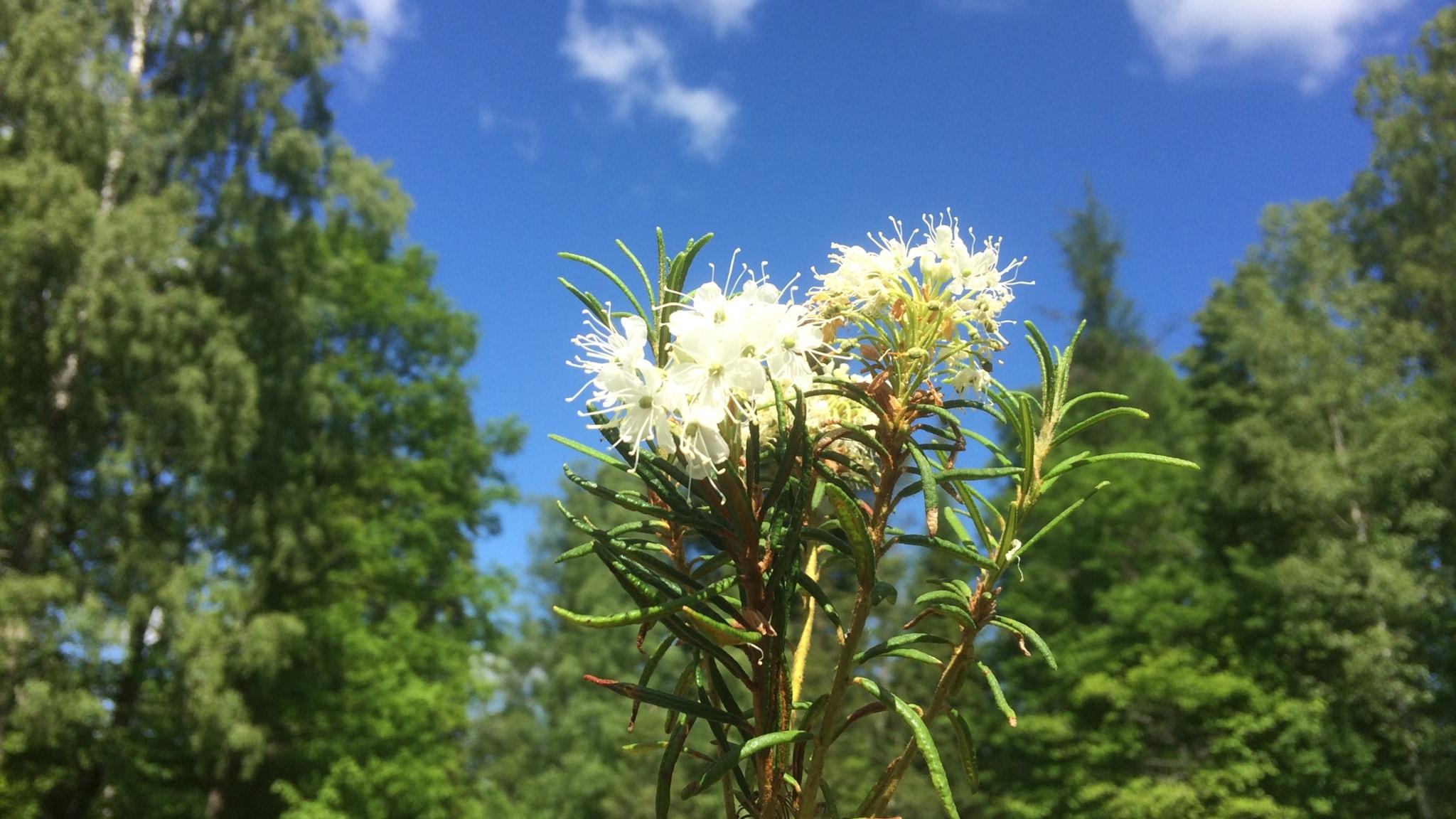 Berits blommor #6: Skvattram