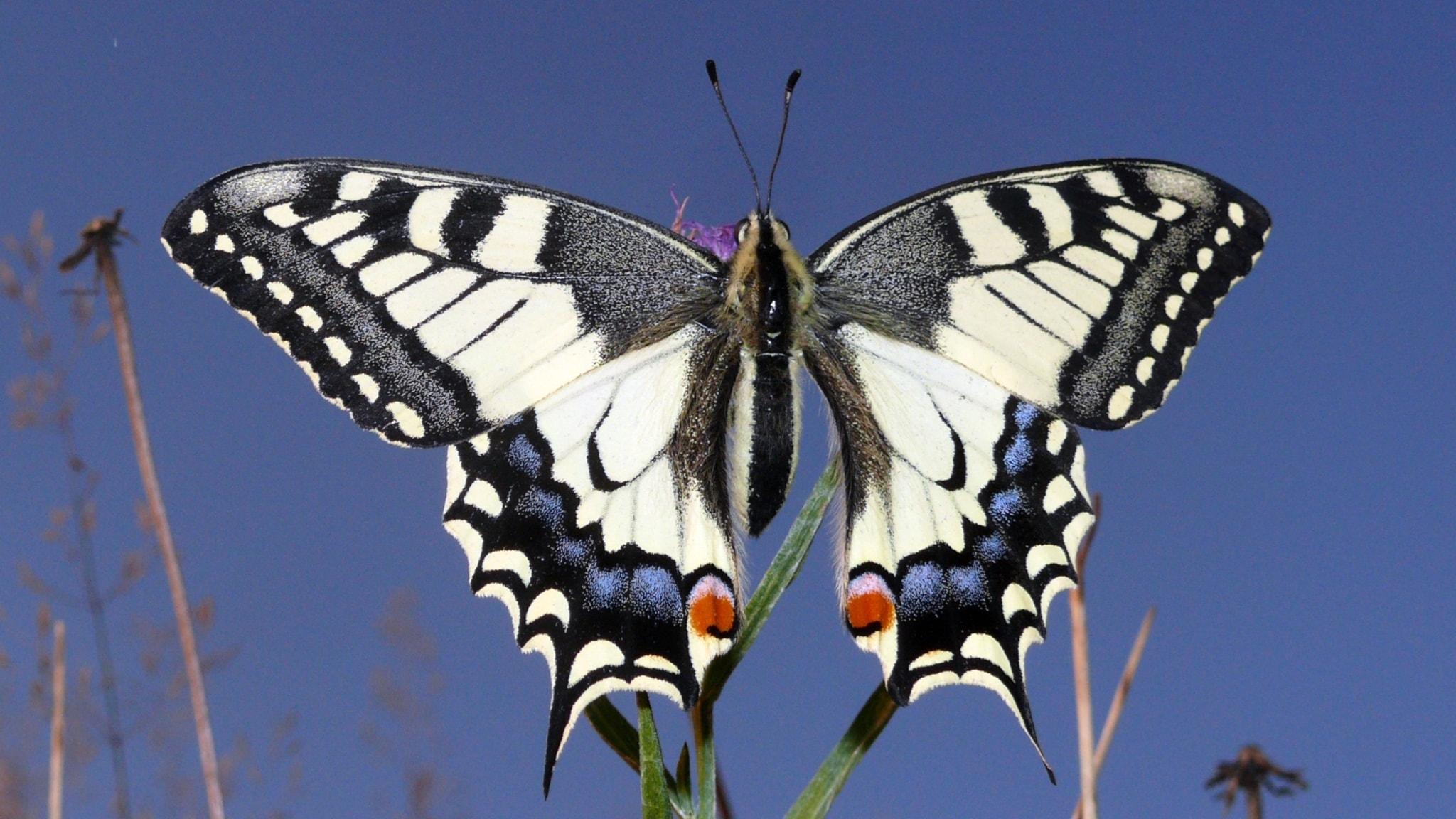 Fjärilspodden #5: Familjen riddarfjärilar