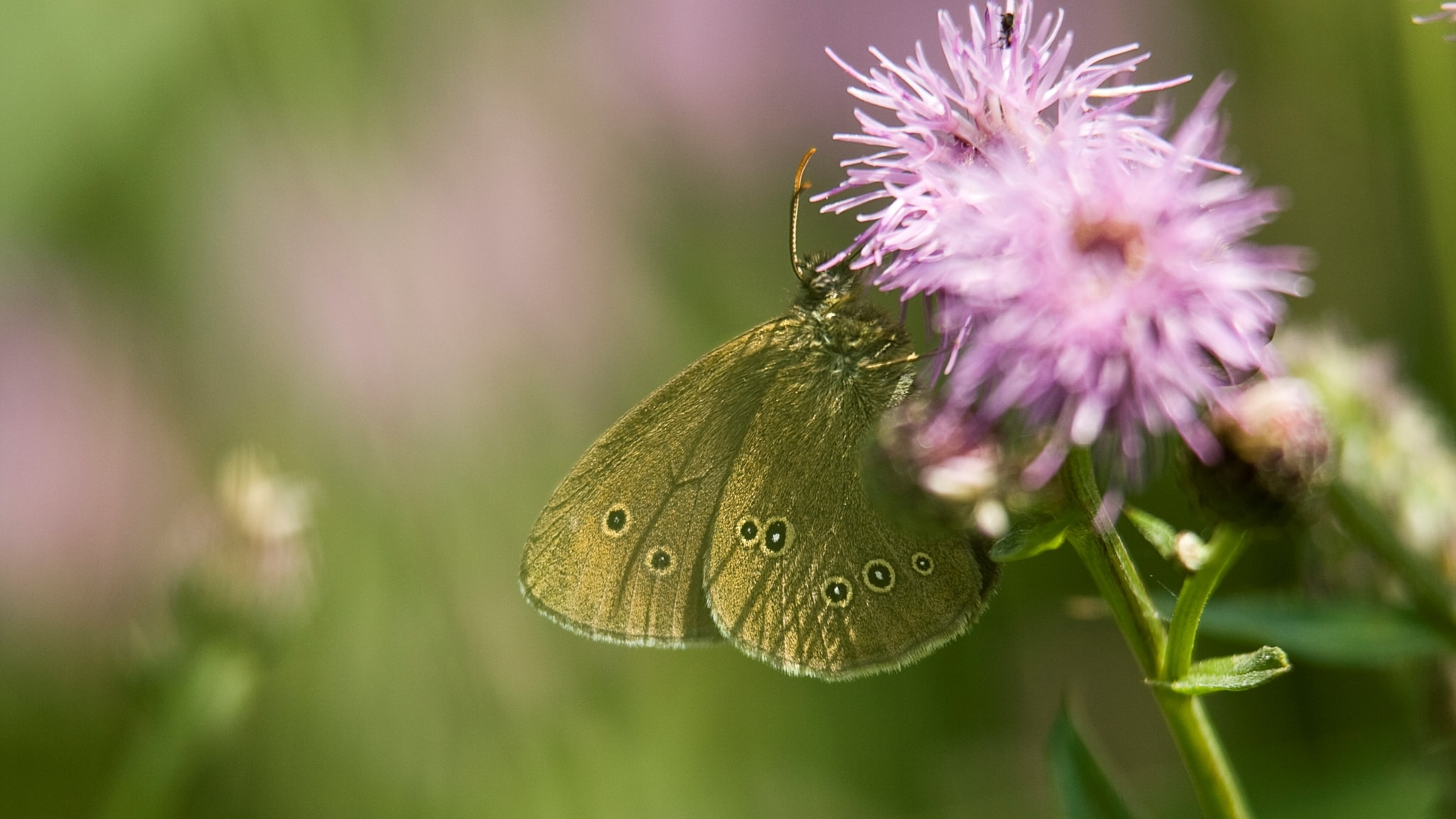Fjärilspodden #7: Familjen praktfjärilar med gräsfjärilar, skimmerfjärilar och nätfjärilar