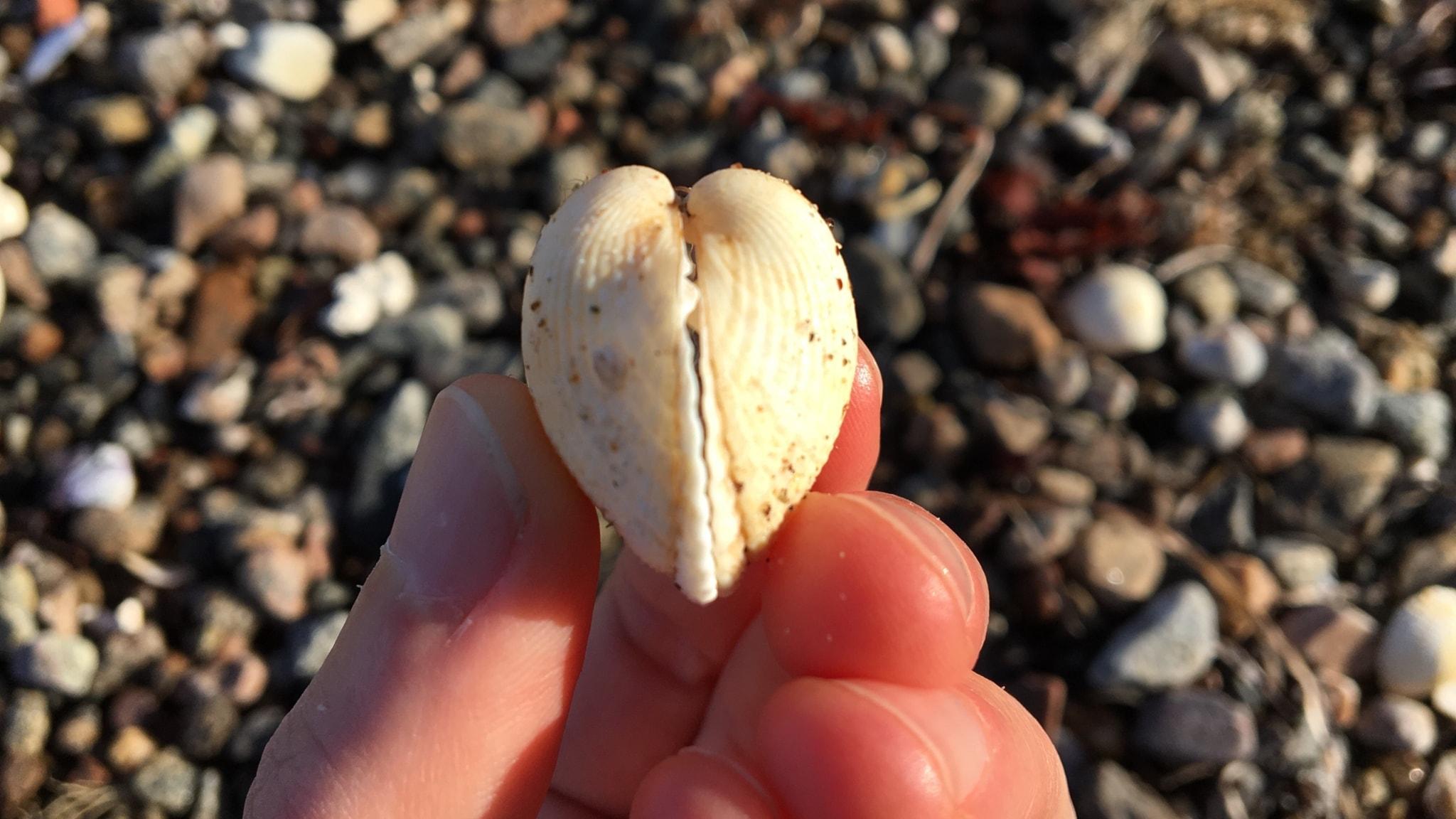 Strandfynd #1: Musslorna