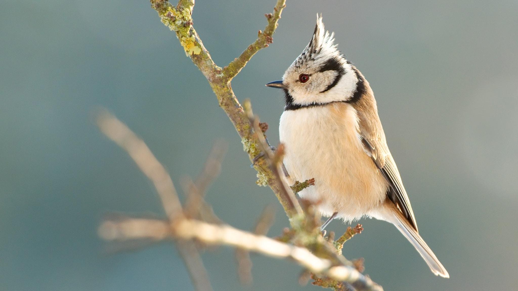 Fågelsånglektion #2: talgoxe, blåmes, entita, talltita, svartmes och tofsmes