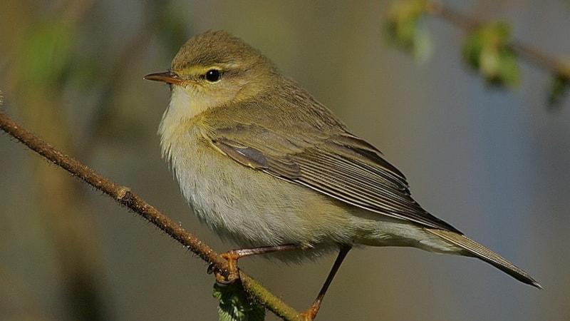 Fågelsånglektion #7: Lövsångare, gransångare och grönsångare