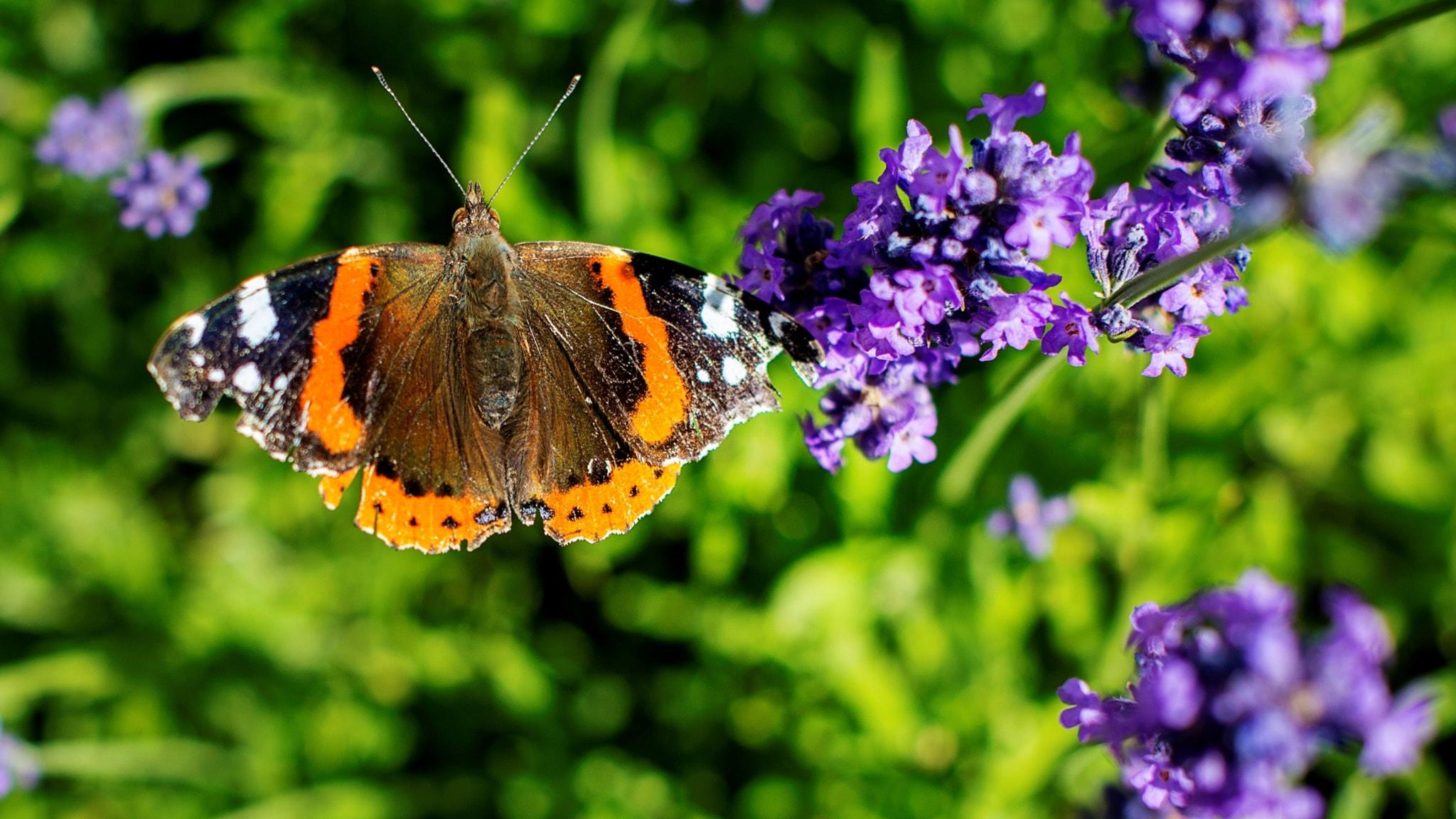 Fjärilspodden #6: Familjen praktfjärilar med vinterpraktfjärilar, kronseglare och pärlemorfjärilar