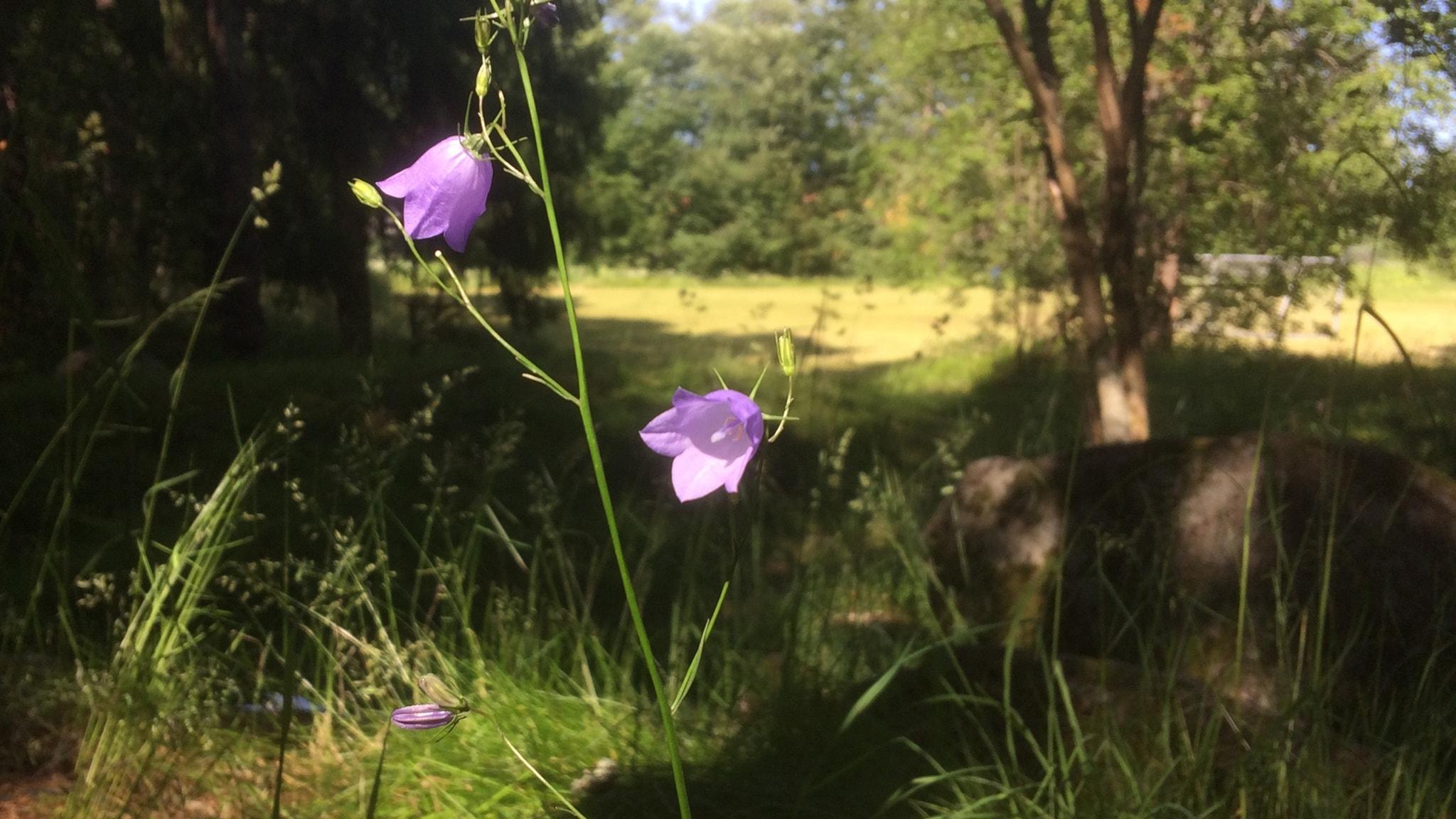 Berits blommor #8: Liten blåklocka