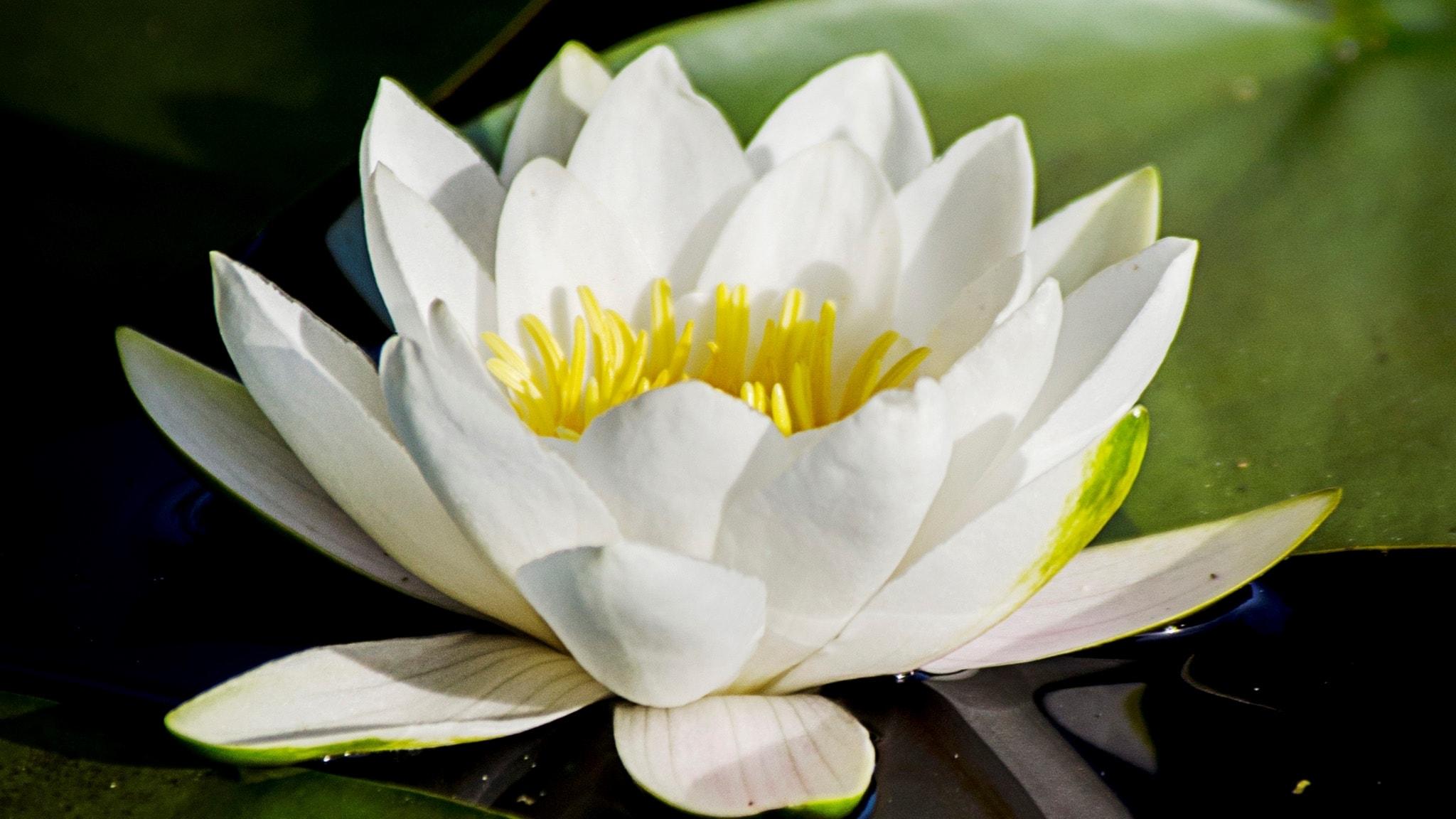Berits blommor #10: Vit näckros