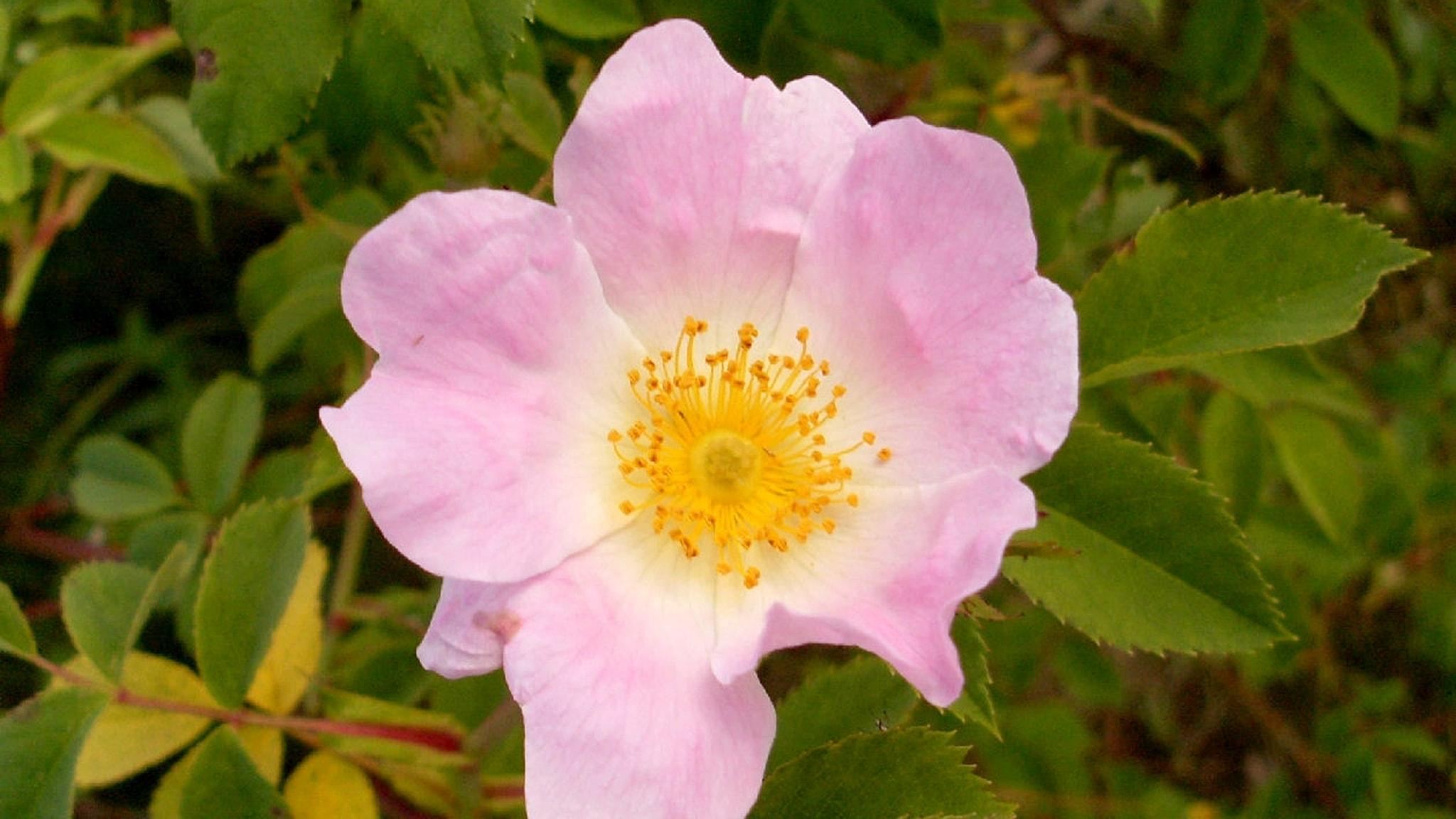 Berits blommor #1: Nyponros