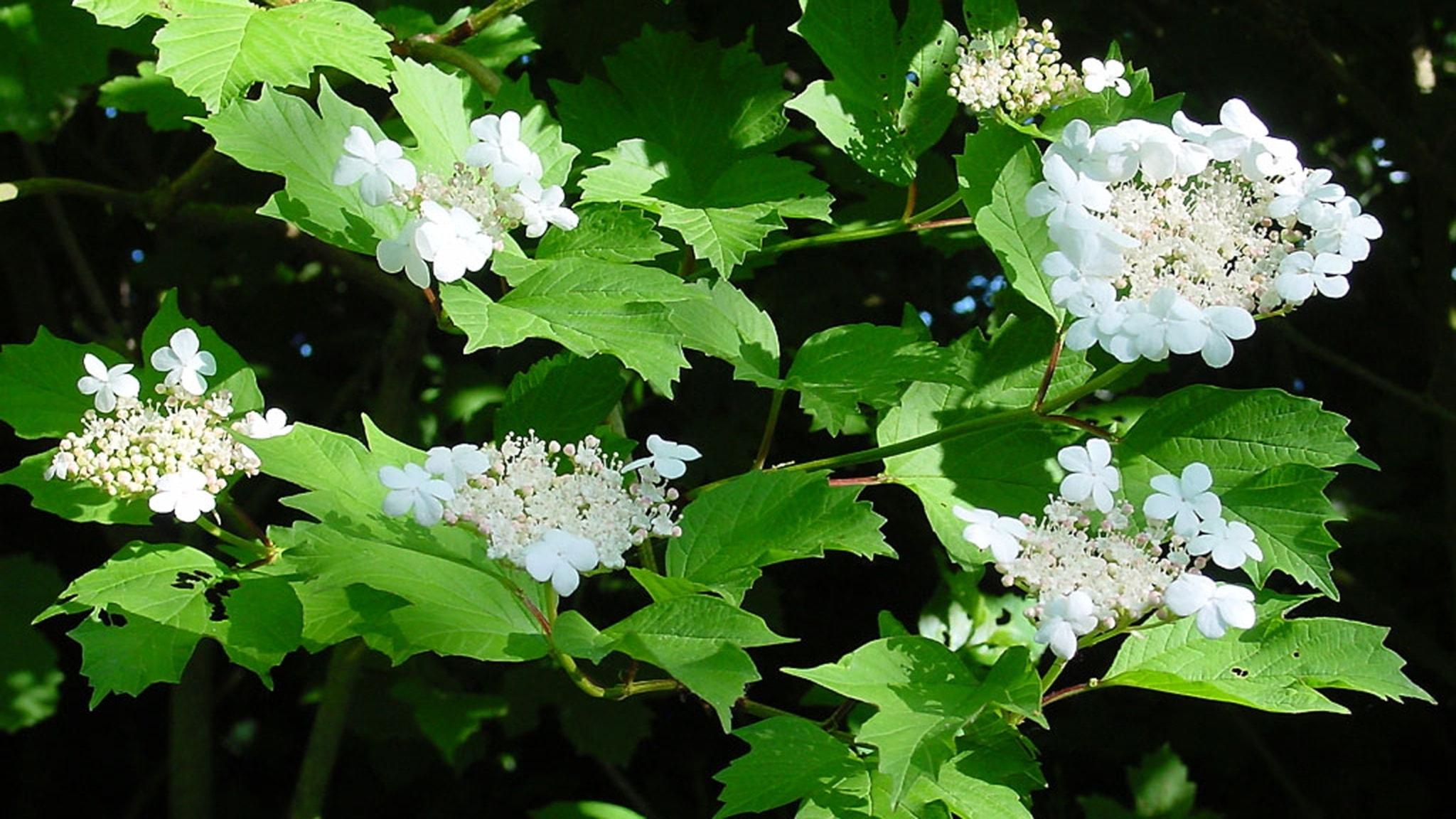 Berits blommor #2: Olvon
