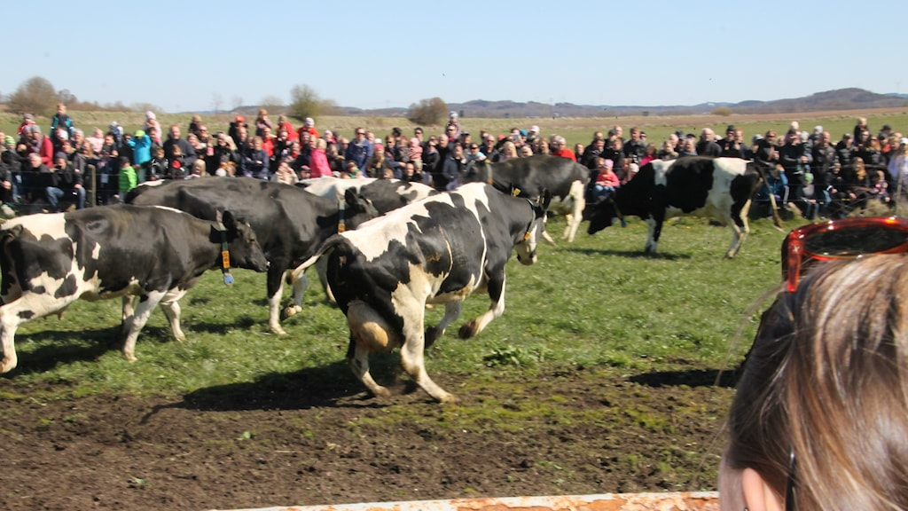 Crowds watch cows leaping in the sunshine after the long winter indoors.
