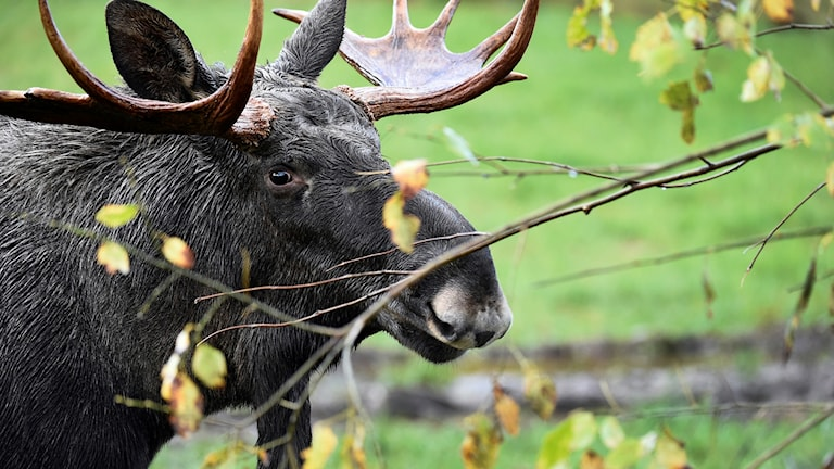 Hunting season for the elk or European moose. Photo: MIKAEL FRITZON / TT