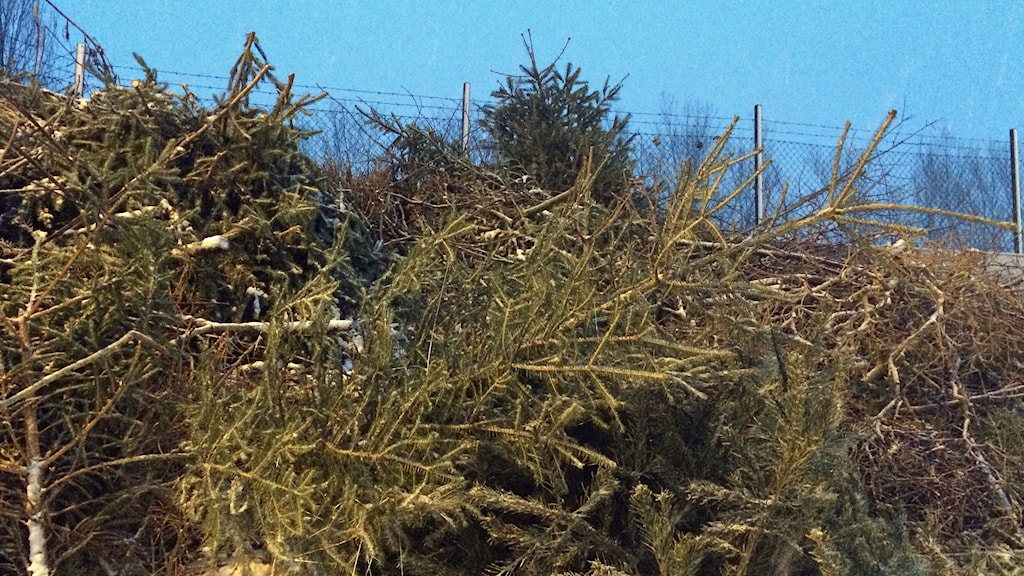 Christmas trees ready to be recycled. Photo: Peter Weyde/Sveriges Radio