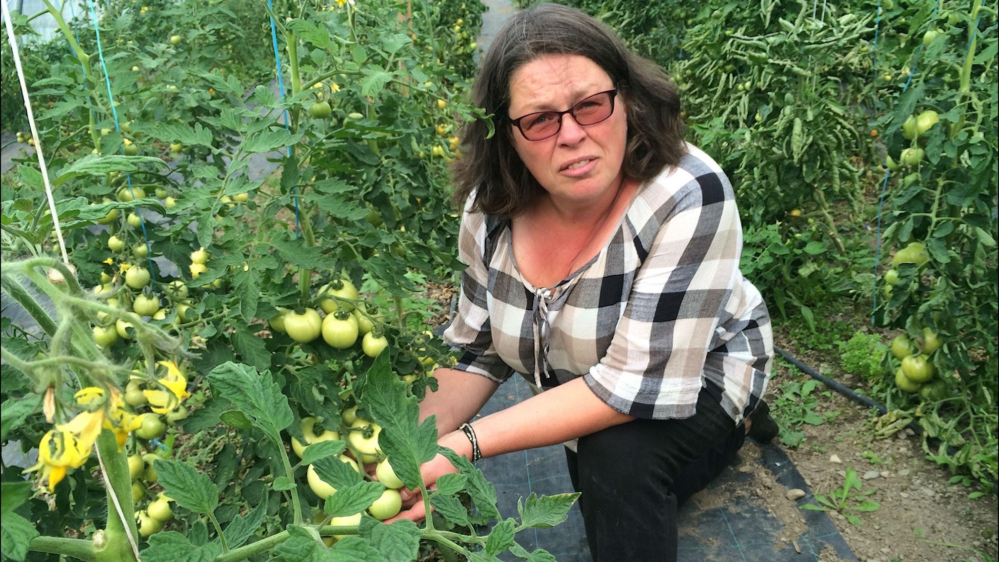 Ingela odlar jämtländska tomater