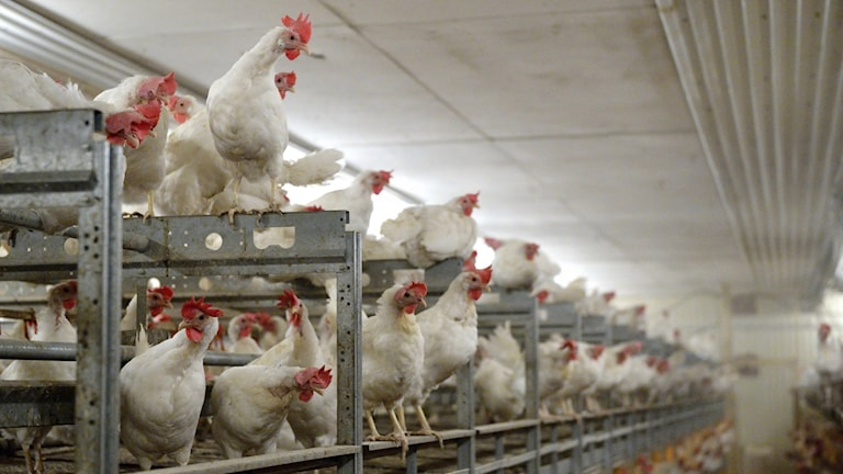 Sanda Poultry Farm, near Stockholm, is all organic and free-range. Photo: Henrik Montgomery / TT.