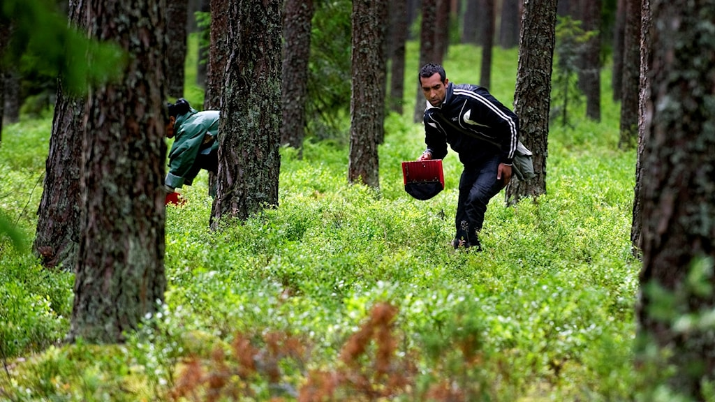 People picking berries in northern Sweden.