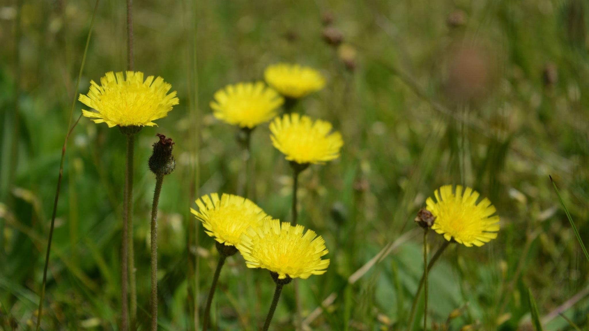 Berits blommor #4: Gråfibbla