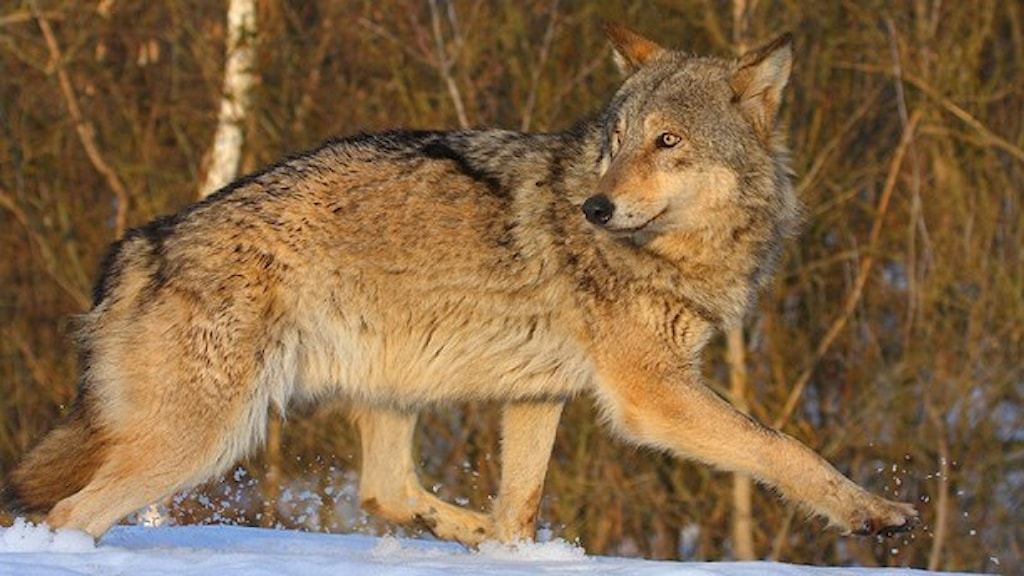 Bringt Gefühle in Wallung: Wolf (Foto: Valeriy Yurko/University of Portsmouth/TT)
