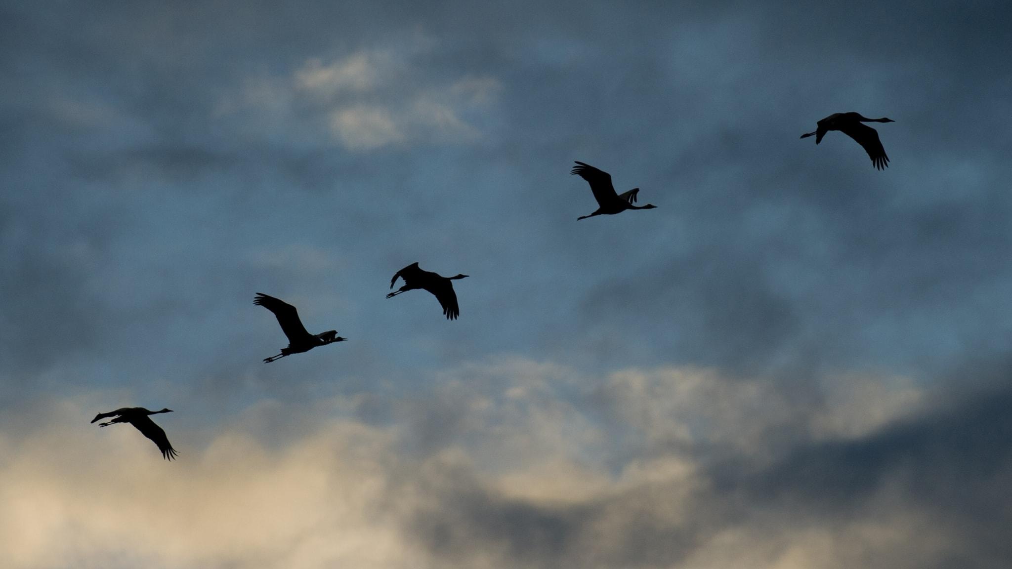 Flyttfåglarna