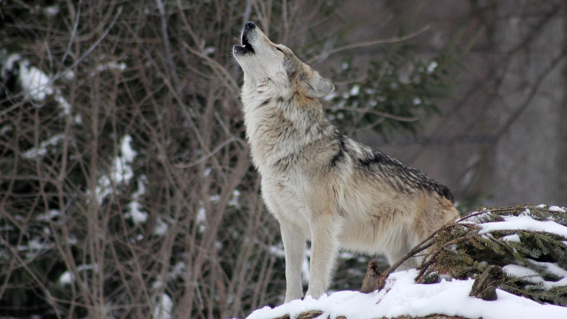 Vargen – Canis Lupus