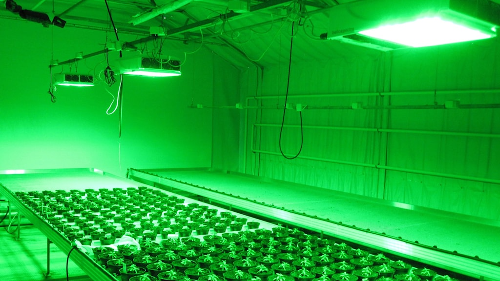 Experiment in how green light affects plants, Photo: Karl-Johan Bergstrand