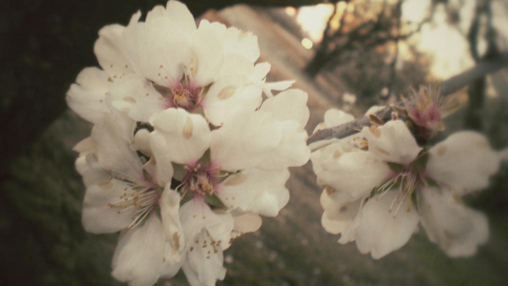 Som ett blommande mandelträd