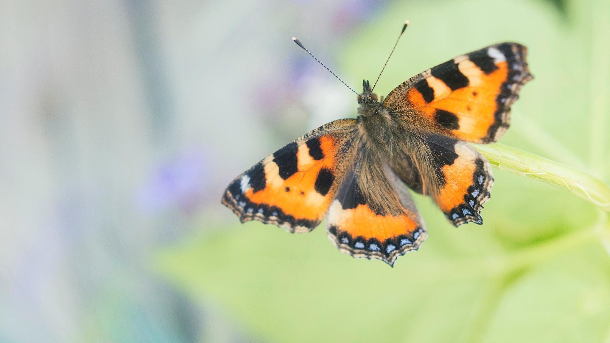Fjärilspodden #1: Om dagfjärilarna och deras liv