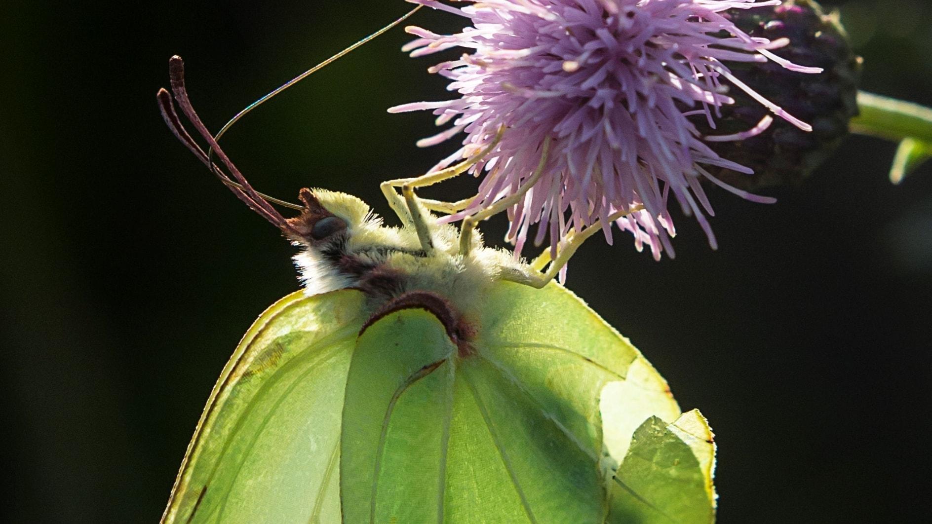 Fjärilspodden #3: Familjen vitfjärilar