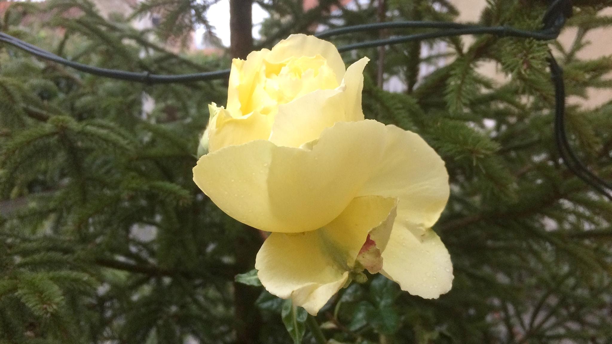 Nyårets sista ros