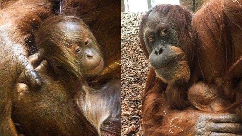 Första orangutangfödseln i Sverige