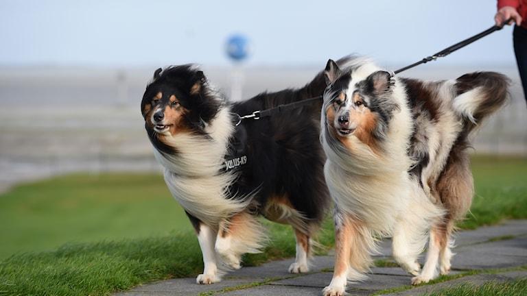 Hundar i motvind.