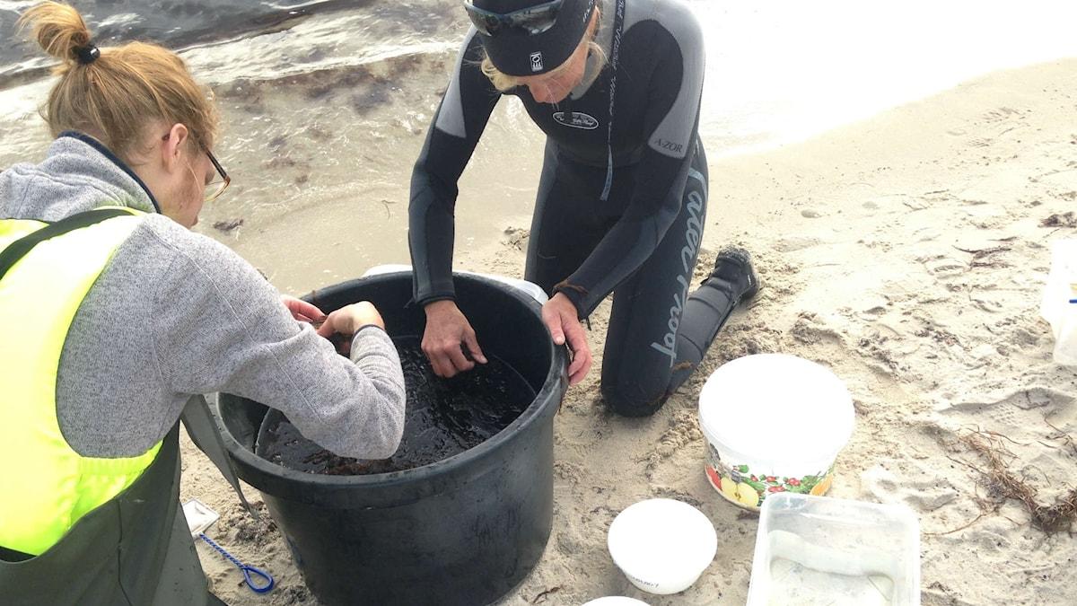 Marinbiologen Lena Svensson och hennes medhjälpare Kristofer Andersson har tagit miljöprover i Östersjön, bland annat vid Revhaken i Åhus.