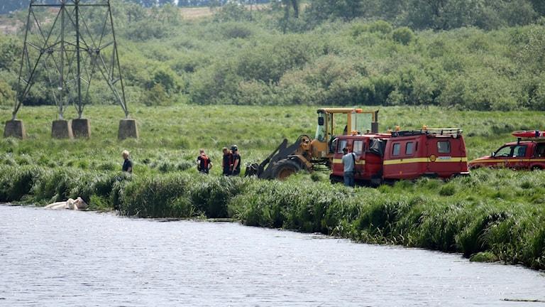 Räddningstjänsten försöker få upp två kor från Helge å.