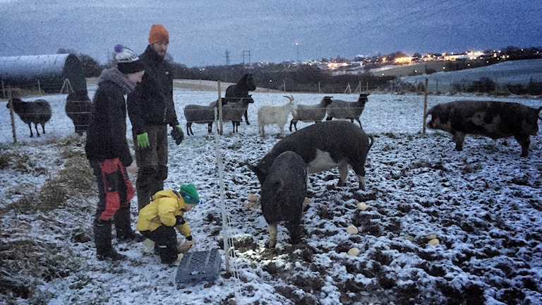 Två vuxna och ett barn framför staket intill grisar.