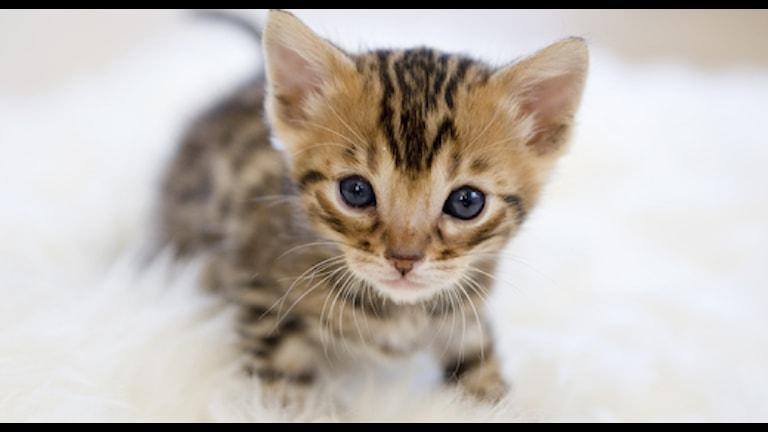 Katt (arkivbild). FOTO: HENRIK MONTGOMERY / SCANPIX