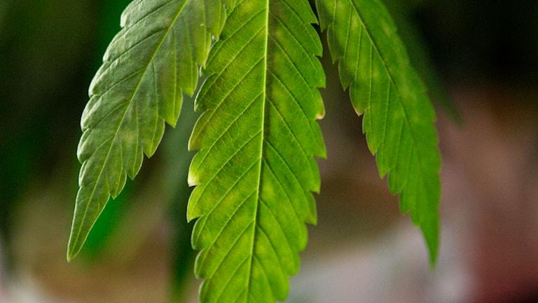 Cannabis. Foto: Jeff Chiu/Scanpix