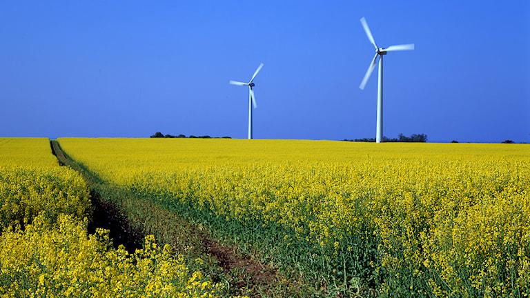 Två vindkraftverk vid ett rapsfält. Foto: SVT