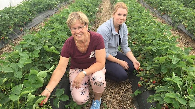 Odlaren Emma Sibbesson gjorde den första jordgubbsskörden under onsdagen.