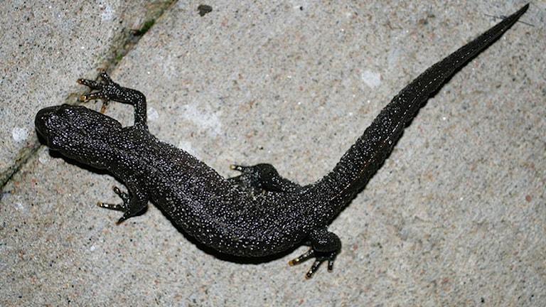 Större vattensalamandern (Triturus cristatus) kan stoppa husbygge. Foto: Wikimedia Commons