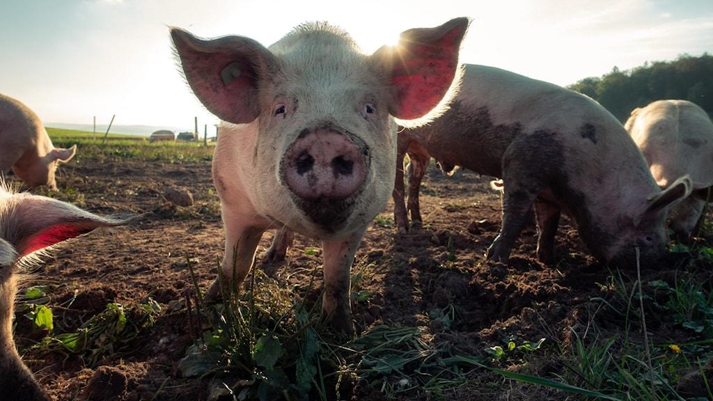 Bökande grisar