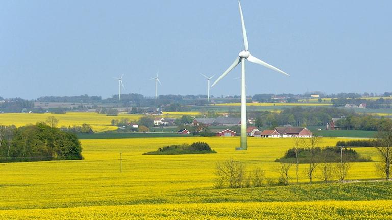Gul rapsåker med vindkraftverk