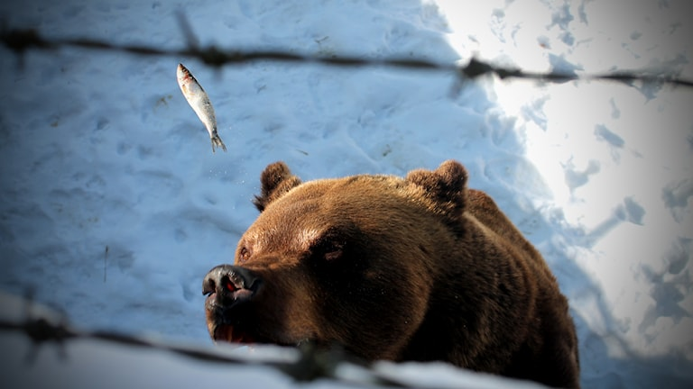 Mums! Gloke gillar fisk. Foto: Johanna Darnéus/Sveriges Radio