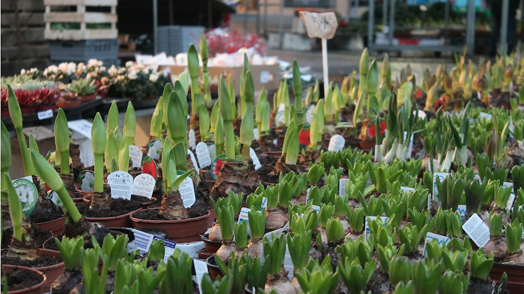 Torghandel, blommor, hyacint