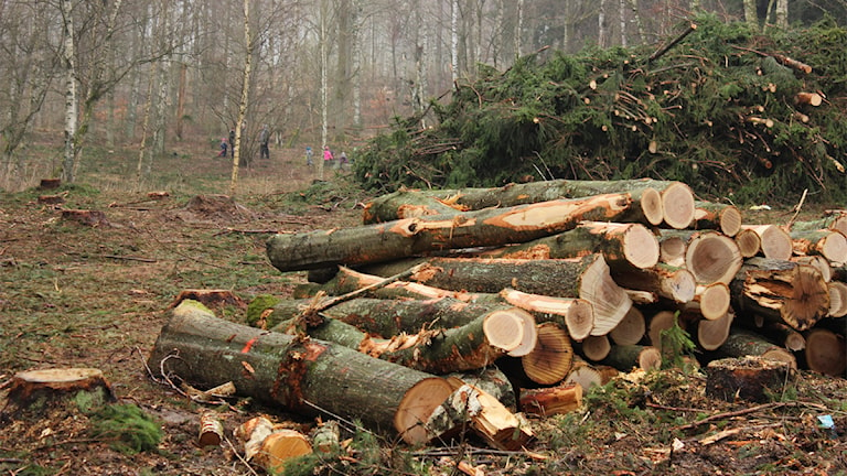 Områden med granar har tagits ner i Kronoskogen