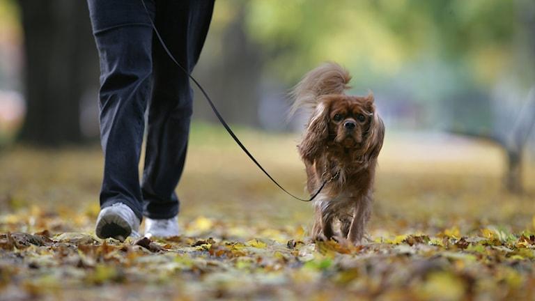 En hund i koppel. Foto: Fredrik Sandberg/TT