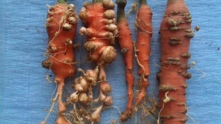 sjukdom på odlingsväxter