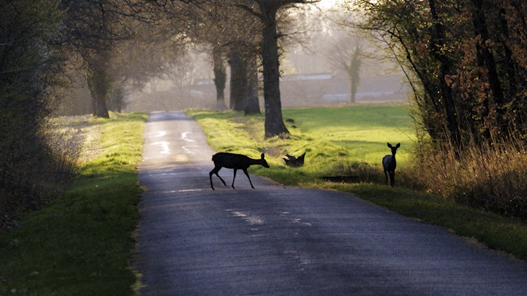 Rådjur på vägen. Foto: Statens väg- och transportforskningsinstitut