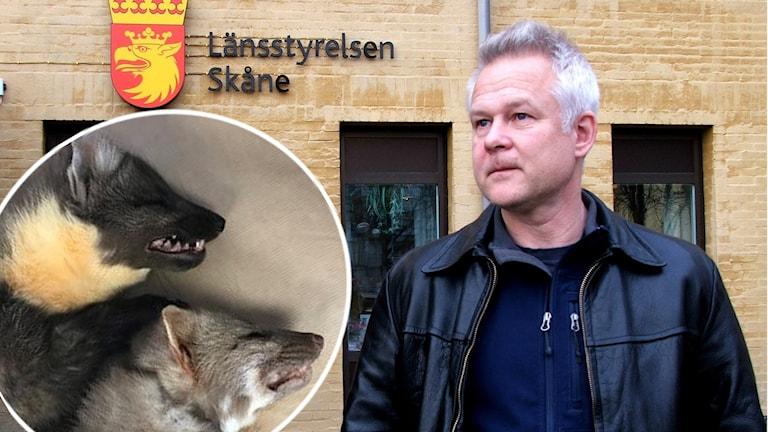 En bild på experten Nils Carlsson framför Länssytrelsen Skåne, och en bild på två mårdarter.