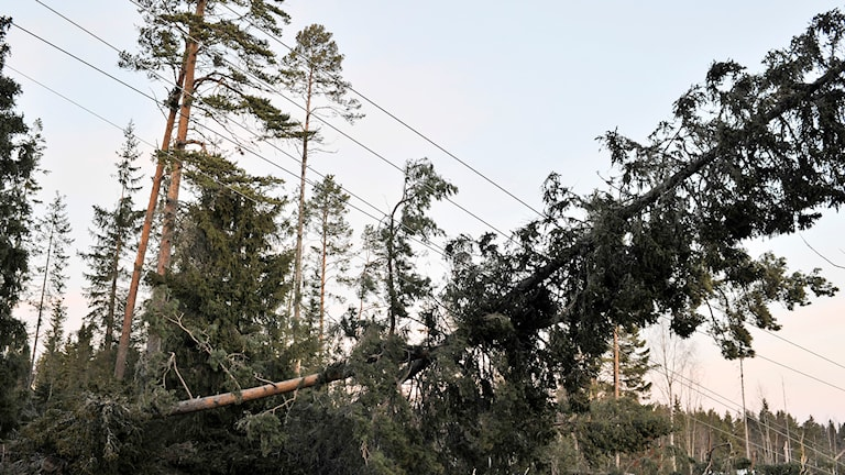 Träd på elledning. Foto: Tommy Andersson/TT