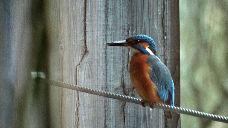 Kungsfiskaren sitter utanför fönstret vid Naturum Vattenrike